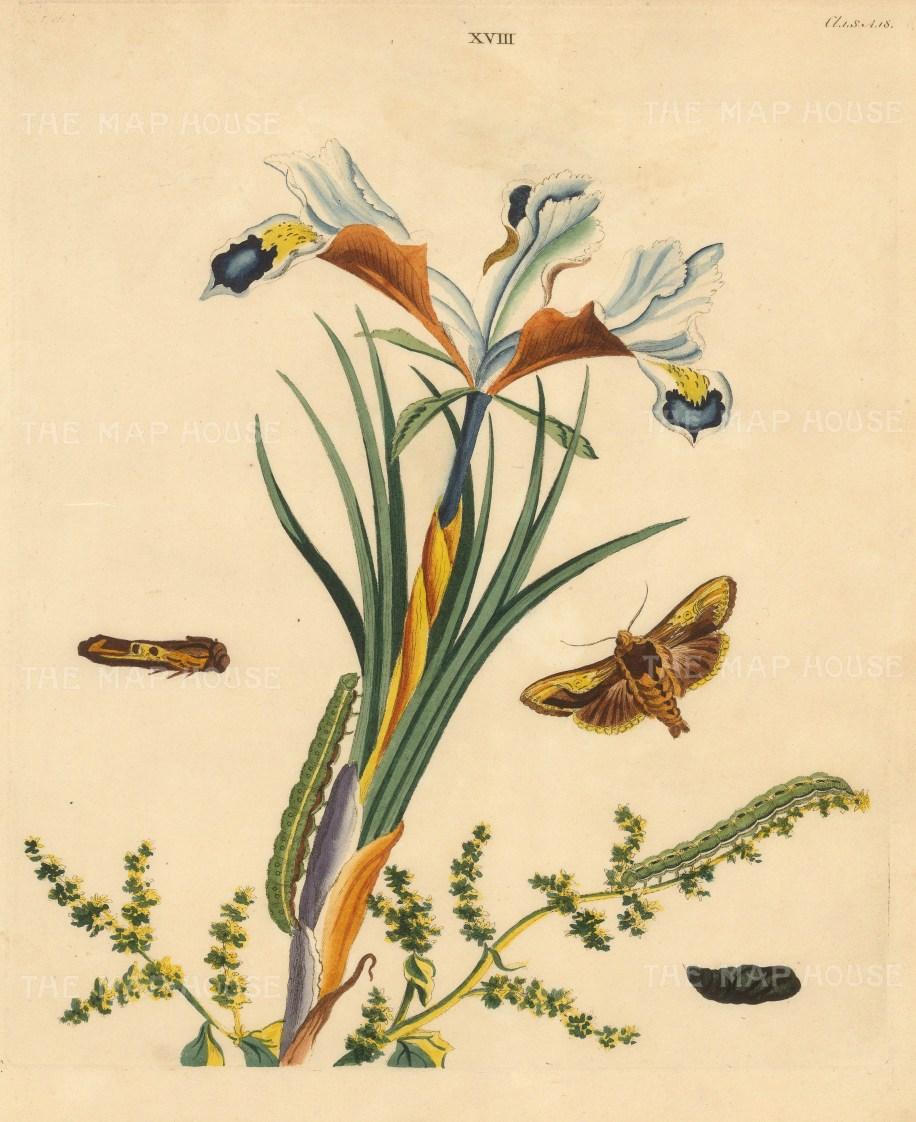 Persian Iris, iris persica and Wild Arrach, astriplex hatata with a Sword grass Moth, phalaena lucae.