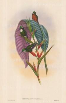 Hummingbirds: Oreopyra Cinereicaud.