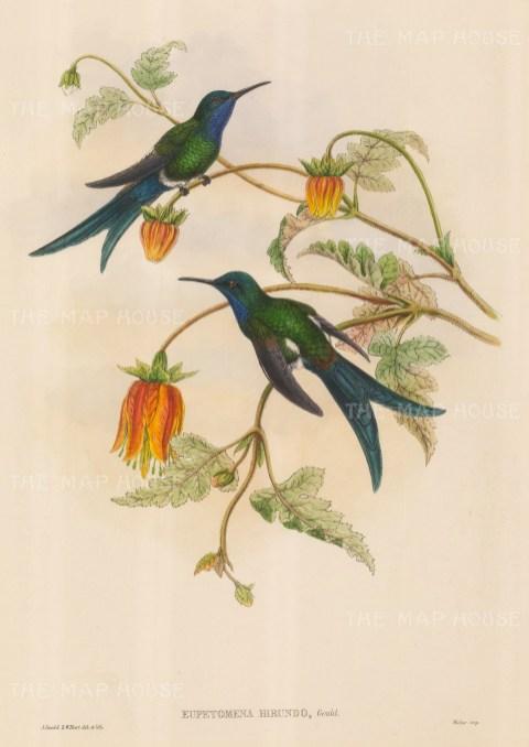 Hummingbird: Eupetomena Hirundo, Western Swallow-tail.