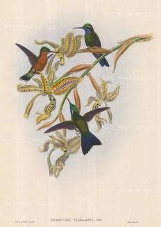 Hummingbird: Oreopyra Calolaema.