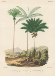 SOLD. Euterpe longevagmata, Maximiliana regia and Diplothemium Torallyi set in a Bolivian landscape.From d'Orbigny's eight year expedition to South America which preceded that of his rival, Charles Darwin.