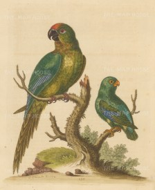 Golden Capped Parakeet of Brazil with a Green and Blue Parrot.