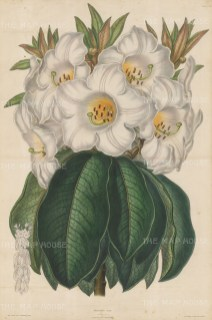 Rhododendron Nuttali. Large White Rhododendron from Assam.