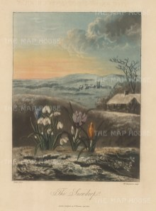 The Snowdrop with crocuses in a wintery English landscape.