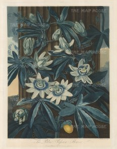 The Blue Passion Flower climbing a pillar. Native to Peru and Brazil, it was introduced to Europe in 1699 where it took to cooler climes.