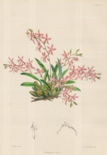 Orchid: Odontoglossum Roseum, Pink and White Orchid.