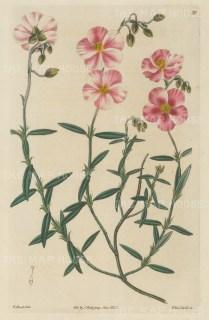 "Sweet: Rock Rose. 1827. An original hand coloured antique copper engraving. 5"" x 9"". [FLORAp3097]"