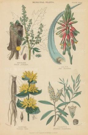 "Blackie: Medicinal Plants. 1850. An original hand coloured antique steel engraving. 5"" x 11"". [FLORAp3169]"