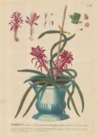 """Ehret: Cactus. 1752. An original hand coloured antique copper engraving. 9"""" x 13"""". [FLORAp3187]"""