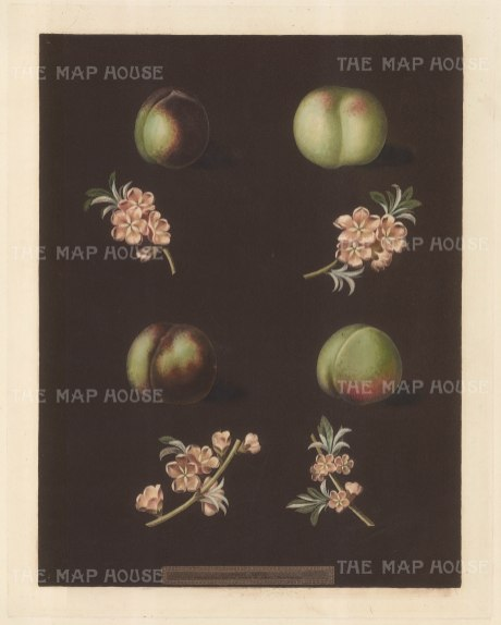 Nectarines: Claremont, Homerton's White, Ford's Black and Genoa.