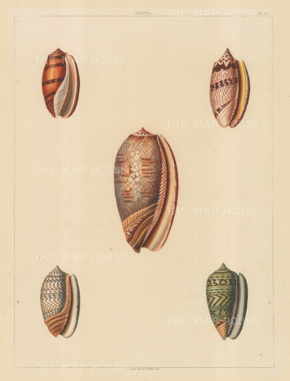Univalves: Genus Oliva: 1. Oliva Fusca, 2. O. Porphyracea, 3. O. Leveriana, 4. O. Zigzag, 5. O. Subviridis.