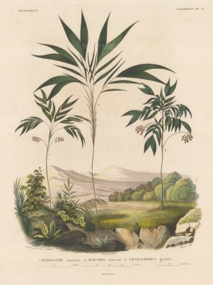 SOLD Palms (Geonoma): Hyospathe montana, Bactris faucium and Chamaedorea gracilis.