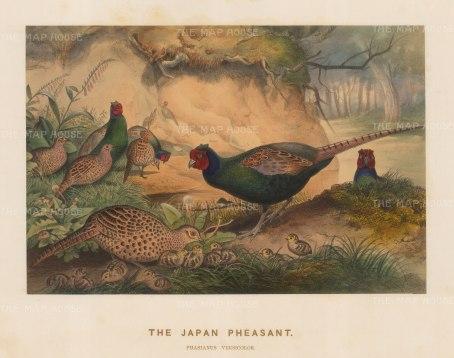 Japanese Pheasant. Phasianus versicolor. Drawn from life at the Zoological Society's Vivarium.