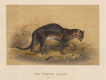 Painted Ocelot: Felis picta. Captured in Central America and drawn from life at the society's Vivarium.