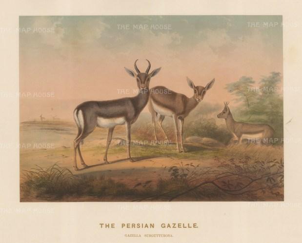 Persian Gazelle. Gazella subgutturusa. Male gazelle from Bussorah drawn from life at the society's Vivarium.