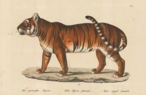 Felis Tigris foemina.
