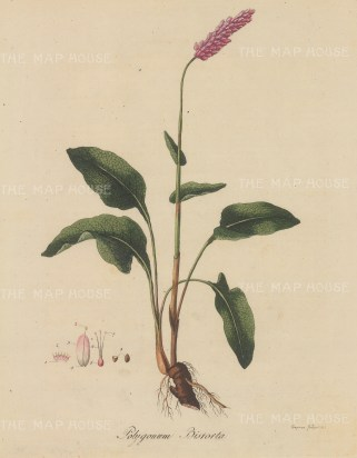 "Dreves: Polygonium bistorte. 1795. An original hand coloured antique copper engraving. 8"" x 10"". [FLORAp3211]"