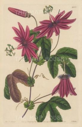 "Botanical Register: Passionflower. 1833. An original hand coloured antique steel engraving. 6"" x 9"". [FLORAp3224]"