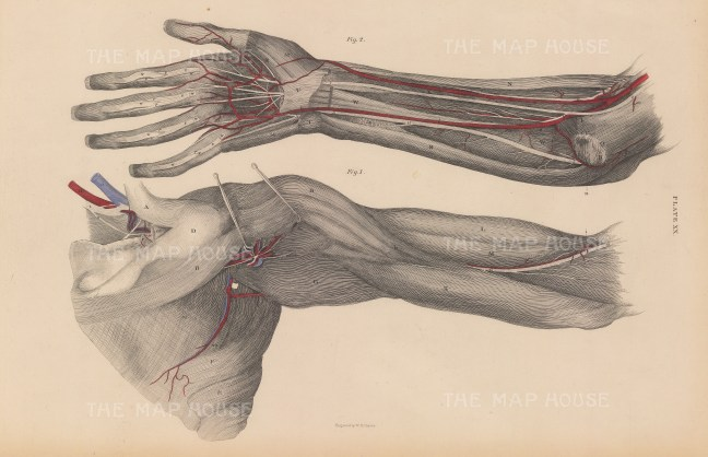 Shoulder and Forearm: Anterior view of shoulder and bicep, lateral view of forearm and hand with muscles, arteries and veins. Plate XX.