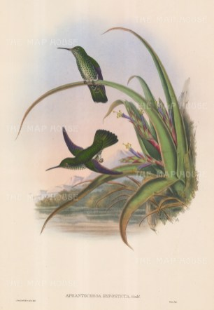 "Gould: Hummingbirds. c1850. An original hand coloured antique lithograph. 13"" x 20"". [NATHISp6646]"