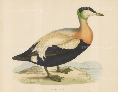 "Morris: Eider Duck. 1869. An original hand coloured antique lithograph. 12"" x 9"". [NATHISp7548]"