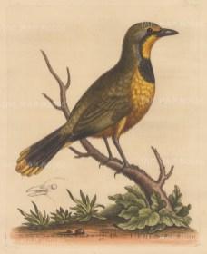 Pye: Green Pye of Ceylon
