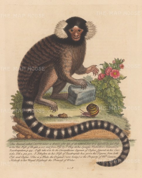 Common Marmoset with snail and pink dog rose. Owned by the mid-wife Sidney Cannon who delivered George III and was renowned as an avid collector of curiosities; much of her collection was bought by Horace Walpole, Earl of Orford.