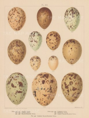 Tern and Gull eggs.