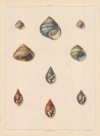 Univalves: Genus Helix: 1. Helix Pictoria, 2. H. Grisea, 3. H. Cincta, 4. H. Colubrina, 5. H. Subviridis. Genus Strigula: 1. Strigula Ornata, 2. S. Fusiformis, 3. S. Maculata, 4. S. Purpurea.