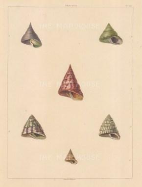 Univalves: Genus Trochus: 1. Trochus Acuminatus, 2. T. Decarinatus, 3. T. Altus, 4. T. Bicolor, 5. T. Apiaria, 6. T. Melissus