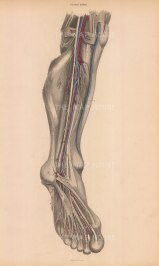 Calf, ankle and foot. Anterior view of arteries, veins, nerves and muscles. Plate XXVIII.
