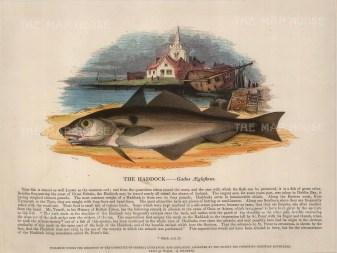 "SPCK: Haddock. 1860. An original hand coloured antique wood engraving. 12"" x 9"". [NATHISp6613]"
