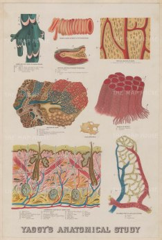 Epidermis, dermis and hypodermis: Epidermis: Educational study with further anatomical diagrams including the capillary system.