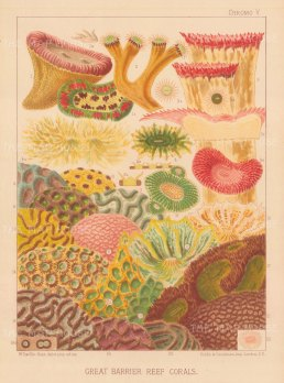 Great Barrier Reef Corals: 22 Corals. Key available.