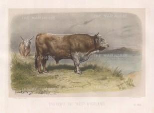 "Lemercier: West Highland Bull. c1850. A hand coloured original antique lithograph. 15"" x 11"". [NATHISp3338]"