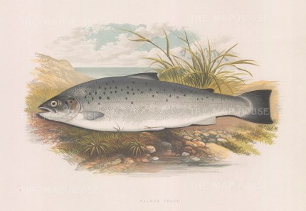 Salmon Trout also known as Sea Trout.