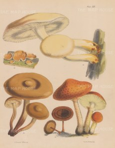 British Fungi: Agaricus (three varieties), Peziza and Polyporus.