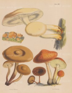 British Fungi: Agaricus (three varieties), Peziza and Polyporus.
