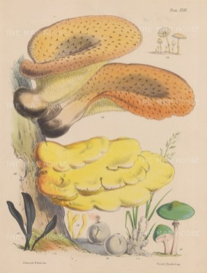 British Fungi: Coprinus, Polyporus, Geoglossum, Clavaria, Bovista, Thelephora and Agaricus.
