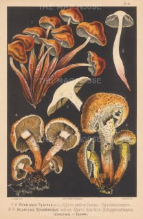 Agaricus Fusipes (Spindleshank) and Agaricus Squarrosus (Shaggy Scalycap). Edible.