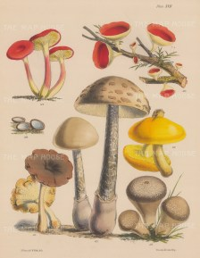 British Fungi: Cantharellus, Peziza (two varieties), Polyporus, Agaricus and Lycoperdon.