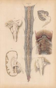 Central Nervous System: Spinal Cord (C), Theca vertabralis (d), Ligamentum (e). With five structure details around the Occipital bone (A), Cerebellum (B), Corpus denttatum (D), Corpus Tuber annulare (E). Plate LXVI.