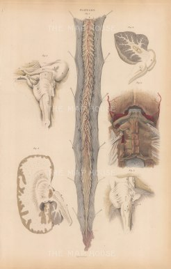 Central Nervous System: Spinal Cord (C), Theca vertabralis (d), Ligamentum (e). With five structure details around the Occipital bone (A), Cerebellum (B), Corpus denttatum (D), Corpus Tuber annulare (E). Plate LXVI.