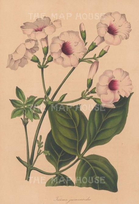 "Paxton: Bower Vine. 1839. An original hand coloured antique lithograph. 6"" x 9"". [FLORAp3215]"