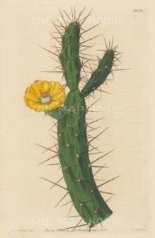 "Botanical Register: Cactus. 1833. An original hand coloured antique steel engraving. 6"" x 9"". [FLORAp3223]"