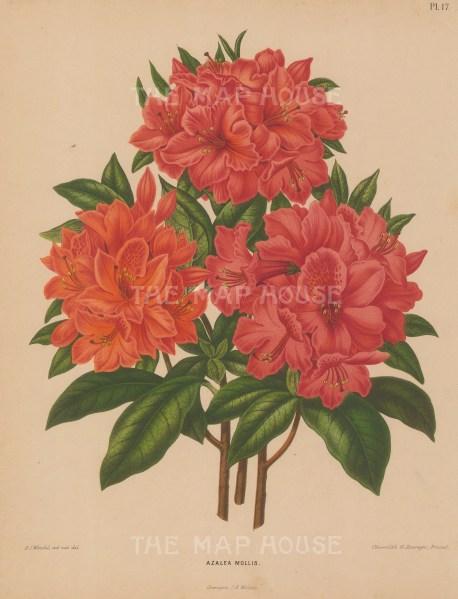 "Wendel: Azalea Mollis. 1879. An original antique chromolithograph. 9"" x 12"". [FLORAp3240]"