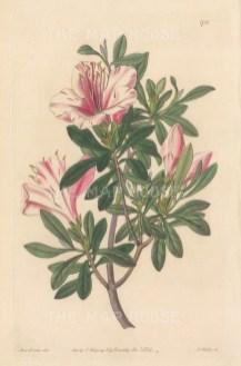 "Botanical Register: Azalea. 1834. An original hand coloured antique steel engraving. 6"" x 9"". [FLORAp3286]"