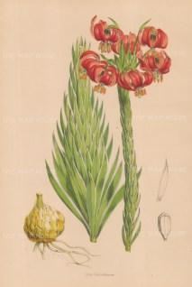 Lilium chalcedonicum.