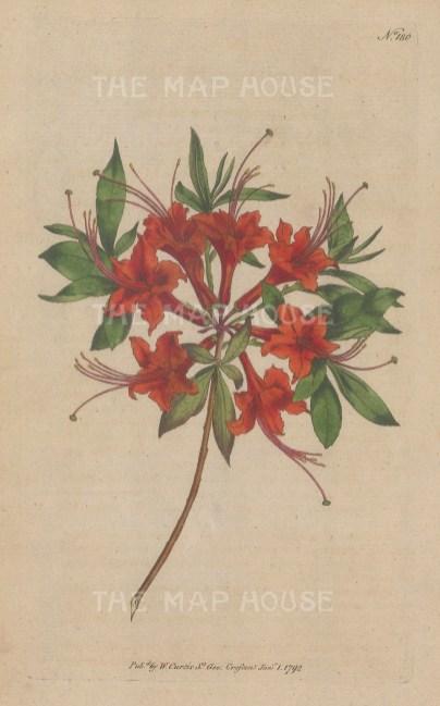 """Curtis: Scarlet Azalea. 1795. An original hand coloured antique copper engraving. 5"""" x 8"""". [FLORAp3311]"""