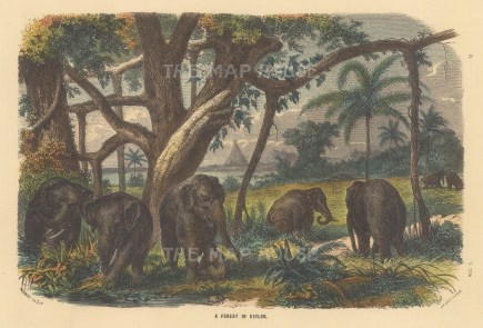 "Collins: Forest in Ceylon. c1870. A hand coloured original antique wood engraving. 9"" x 6"". [INDp1505]"